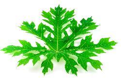 Carica Papaya (Papaya leaf extract)